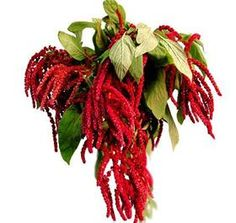 red hanging amaranthus