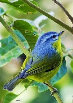 Blue and green bird on branch Cute Birds, Small Birds, Pretty Birds, Little Birds, Colorful Birds, Beautiful Birds, Animals Beautiful, Cute Animals, Tier Fotos