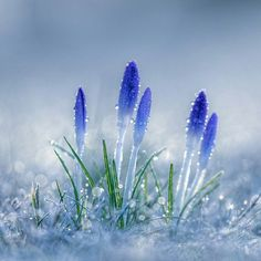 spring flowers fight their way up through the snow (beautiful flowers garden god) Flowers Nature, Exotic Flowers, Amazing Flowers, Spring Flowers, Blue Flowers, Beautiful Flowers, Beautiful Beautiful, Beautiful Nature Wallpaper, Beautiful Landscapes