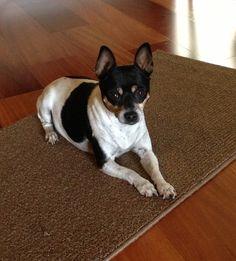 Small Rat Terrier...Mimi