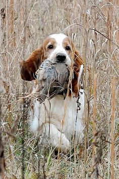 Welsh Springer Spaniel ~ Classic Look & Trim ~ Ivywild Welsh Springer Spaniels