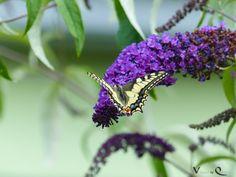 Der Schwalbenschwanz (Papilio machaon)