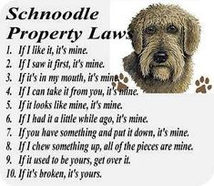 Yep very true for my schnoodle. My Schnoodle never gives up on anything without a fight. Schnoodle Puppy, Schnauzer Puppy, Schnauzers, Dog Heimlich, Poodle Mix Breeds, Dog Breeds, Fancy Dog Houses, Undertale Dog, Cute Dog Harness