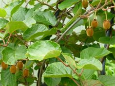 Kiwi fruit vines (also known as Chinese gooseberries). Need one male plant to 2-3 female plants for pollination