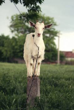 I've asked Santa for goats for about 3 years.   Please Santa please?  I've been kinda good this year.