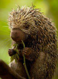 Porcupine - so adorable