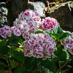 hortensien pflege Hydrangea macrophylla schöne sanfte blüten