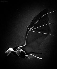 Bat wing skeleton - photo#48