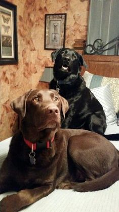 Just like a lab. Beautiful. I dedicate the black lab to my black & yellow lab who have just just passed away.