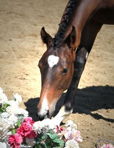 Sireena! At GOV inspection, received Premium Foal rating!