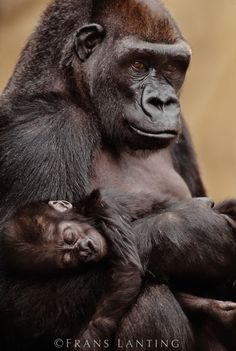 Lowland gorilla mother and baby, Gorilla gorilla, Native to Congo (DRC)