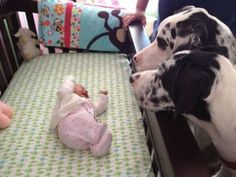 #Great #Danes and baby