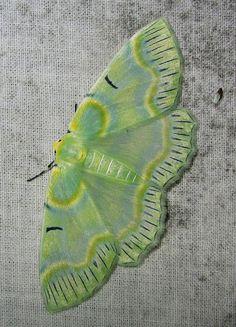 Iotaphora iridicolor