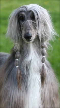 'Do you like my new Hair-Do' - Funny Afghan Hound Dog Big Dogs, Cute Dogs, Dogs And Puppies, Doggies, Beautiful Dogs, Animals Beautiful, Cute Animals, Love My Dog, Photo Animaliere