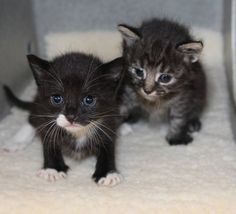 """""""Soft kitty, warm kitty, little ball of fur. Happy kitty, sleepy kitty, purr, purr, purr!"""" We have many little balls of fur in need of foster homes would would love someone to sing them a song and make them feel better! Help ACCT Philly save kittens' lives by becoming a foster parent today, email foster@acctphilly.org"""