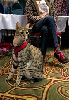 "Savannah Cat: The world's tallest cat ""Trouble. Caracal Cat, Serval Cats, I Love Cats, Crazy Cats, Cool Cats, Le Savannah, Beautiful Cats, Animals Beautiful, Kittens Cutest"