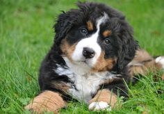 Find Bernese Mountain Dog Puppies in your area and helpful tips and info. All purebred Bernese Mountain Dog puppies are from AKC registered parents.