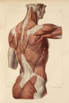 Superficial back muscles. This anatomical artwork is plate 83 from volume 2 (1831) of 'Traite complet de l'anatomie de l'homme' (1831-1854). This 8-volume anatomy atlas was produced by the French physician and anatomist Jean-Baptiste Marc Bourgery (1797-1849). The illustrations were by Nicolas-Henri Jacob (1781-1871).