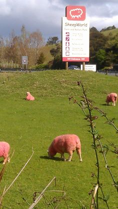 MATAKANA TO DO - Sheepworld famous for its pink sheep.  *No animals were harmed in the process.    #attraction #auckland #matakana