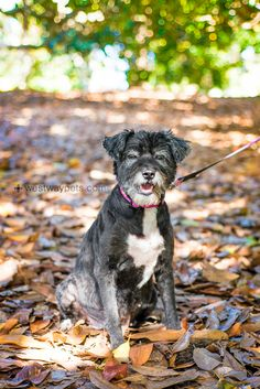 Sweet Phoebe came to us after her family could no longer care for her and took her to a southern California shelter. She is sweet, gentle, loving, and playful, even at the age of approx. 10. All the shelter employees kept extending her due out date...