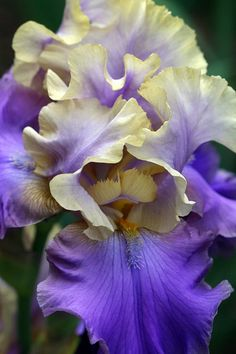 Iris. My favorite flower. Would love a field full of every shade of purple.