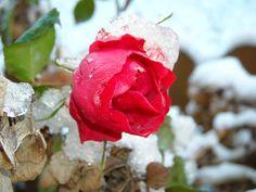 raffinate e fresche rose