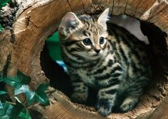 Philadelphia Zoo Welcomes Black-Footed Cat Kittens And We Are Freaking Out