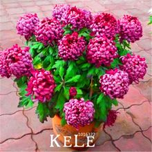 Big Sale!10 Pieces/lot chrysanthemum seeds, Rare Flower seeds garden potted plants, softcover bonsai balcony room,#K4S0XP(China (Mainland))