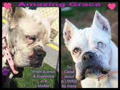Sachi Animal Rescues own Amazing Grace Boxer Rescue, Rescue Dogs, Animal Rescue, Amazing Grace, Boxers, Shelter, French Bulldog, Pitbulls, Animals