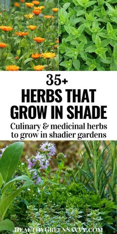 Have some shady parts of your yard where you'd like to grow some healthy fresh food? Here are more than 35 herbs that grow in shade. They're not only delicious, they're incredibly good for you, and many are quite easy to grow, even in colder climates. #herbgarden #herbsforshade #gardening #medicinalherbs #culinaryherbs #shadegardening Herb Garden Design, Diy Herb Garden, Vegetable Garden, Garden Plants, Garden Ideas, Growing Ginseng, Growing Herbs, Organic Gardening, Gardening Tips