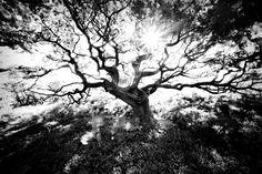 ansel adams trees | Ansel Adams Tree Tree line 1
