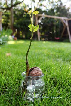 Grow a little walnut tree!