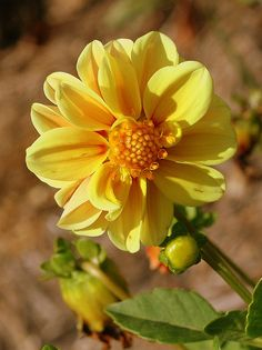 Yellow Dahlia is good Types Of Flowers, All Flowers, Flowers Nature, Exotic Flowers, Amazing Flowers, My Flower, Yellow Flowers, Flower Power, Beautiful Flowers