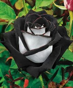 """Uma rosa negra (The Black Rose is found in a region in Turkey called """"Halfatty"""". This type has two colours, which makes it extremely rare. Unusual Flowers, Rare Flowers, Black Flowers, Amazing Flowers, Beautiful Roses, Red Roses, Beautiful Flowers, Black Magic Roses, Nice Flower"""
