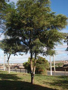 Uvaia (Eugenia pyriformis) plantada em quintal. Está árvore é ótima para arborização urbana, pois sua madeira é resistente, seu porte é médio e uma copa boa para interceptar os raios solares e umidificar o ar. Alé de tudo isso produz um saboroso fruto, que pode ser consumido in natura ou através de sorvete, suco e geleia.