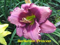 Barbarian Princess Daylily