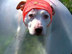 Pit Bull Shot In The Head Trying To Protect Owner, But Miraculously Survives - CBS New York