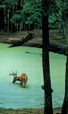 deer drinking water from a pond full of duck weed