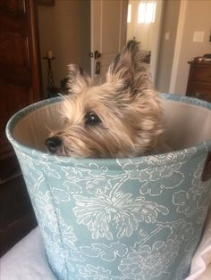 Cairn Terrier - my Littleman ❤️
