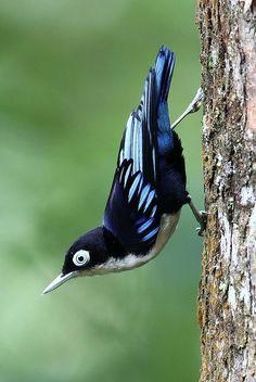 Zwartbuikboomklever - Blue Nuthatch (Sitta azurea)