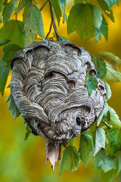 Bald-faced Hornet Nest by Brian Stevens