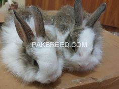 Pakbreed - Sell and Buy top breeds in Pakistan National Animal, Buy Birds, Buy Pets, Livestock, Parrot, Goats, Creatures, Things To Sell, Animals