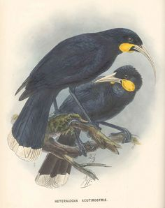 """Huia.  From """"Buller's Birds of New Zealand"""".  Painted by JG Keuleman 1873"""