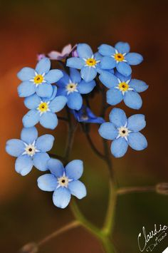 Forget-me-not | Flickr - Photo Sharing!