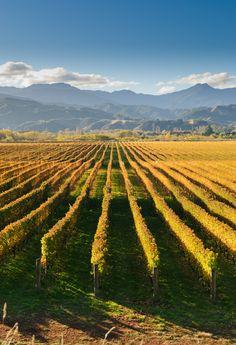 Sommelier Maggie Campbell discusses Sauvignon Blanc produced in New Zealand's Marlborough region. What does it taste like? What Marlborough Sauvignon Blanc's do you recommend? Marlborough Wine, Marlborough New Zealand, Best Landscape Photography, New Zealand Landscape, Waiheke Island, Napa Valley Wine, Sauvignon Blanc, Outdoor Art, Vitis Vinifera