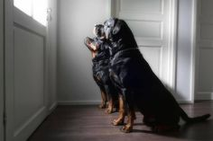 Rottiesforlife ~ This is what's waiting for me on the other side of the front door, even if I just walked out to get the mail lol.  Lots~o~love