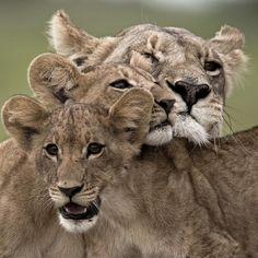 Image by National Geographic Explorer, @beverlyjoubert. Affection. The bonds between lions in a pride are strong and constantly reinforced. Their survival and success depends largely on their cooperation - regardless of whether they are youngsters or adults. For these social cats, tactile affection is a constant. #lions #bigcats #wildandfree #causeanuproar