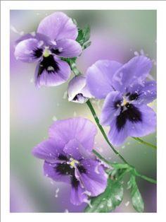 Purple Flower Wall Art Violet Pansy Floral Fine Art Photography Giclee Art Prints: http://www.amazon.com/Purple-Flower-Violet-Floral-Photography/dp/B005GSRTNM/?tag=greavidesto05-20