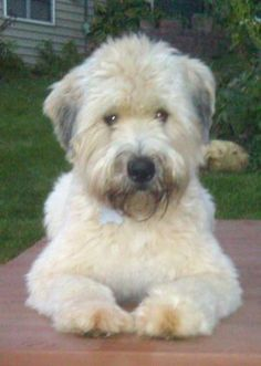 wheaten terrier. that beautiful face! so irresistable!