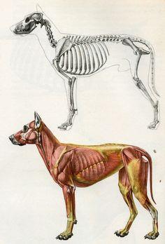 Wolf Musculoskeletal Diagram - Electrical Work Wiring Diagram •